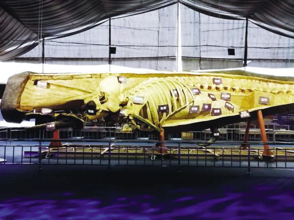 塑化抹香鲸游进金石滩