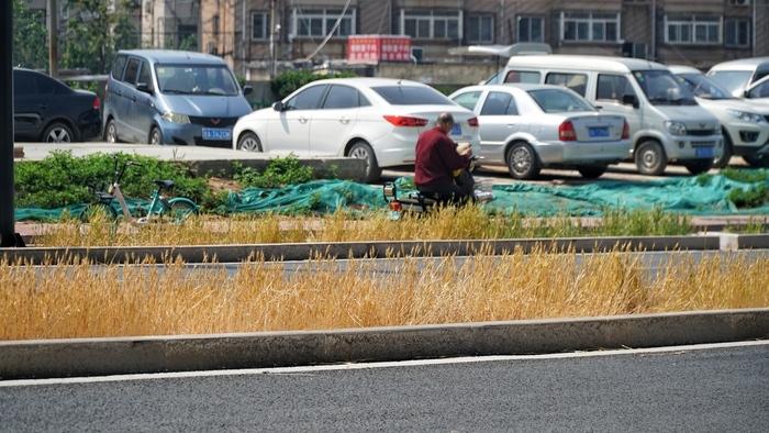 绿化带也能种小麦?为防地面裸露扬沙 观赏植物不能食用图片