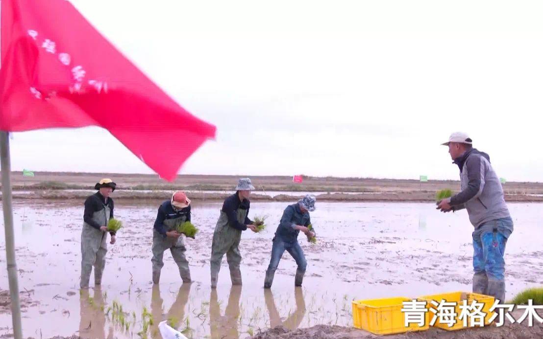 [摩天平台]高原今年全国海水摩天平台稻面积图片