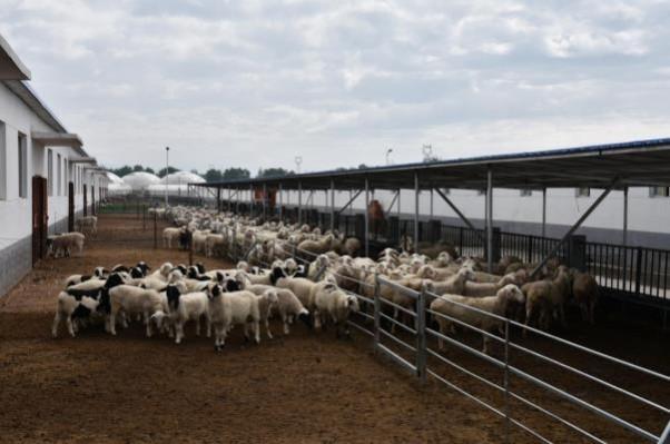 标准化的种羊场一角