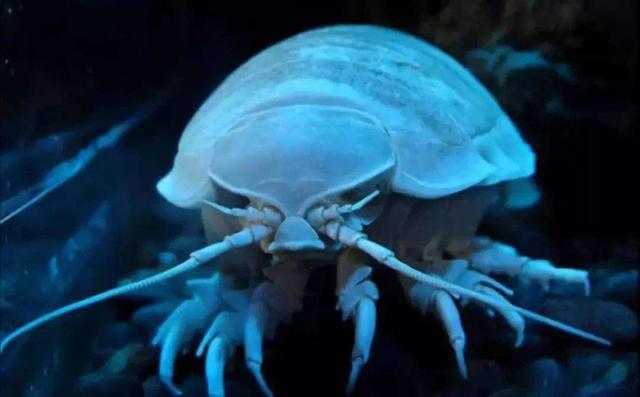 大王具足虫时隔两年再次排便引轰动,代谢率是否与寿命相关?