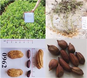云南省农科院选育富含亚麻酸花生新品种
