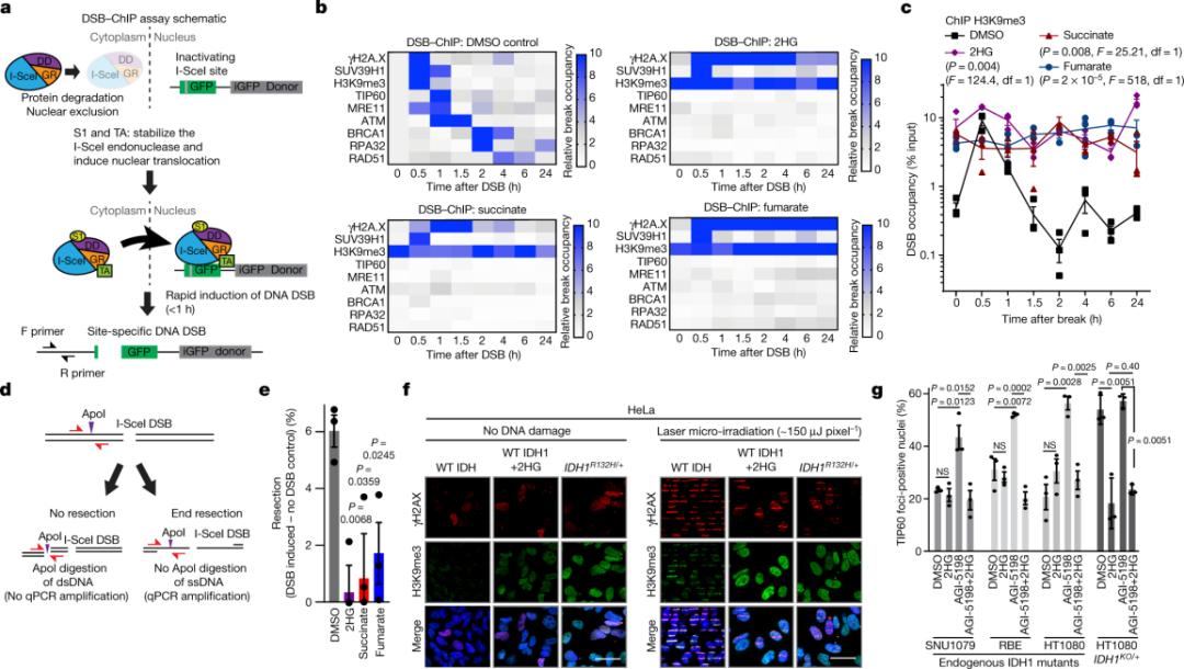 一探究竟!Nature:肿瘤代谢物如何阻碍DNA修复
