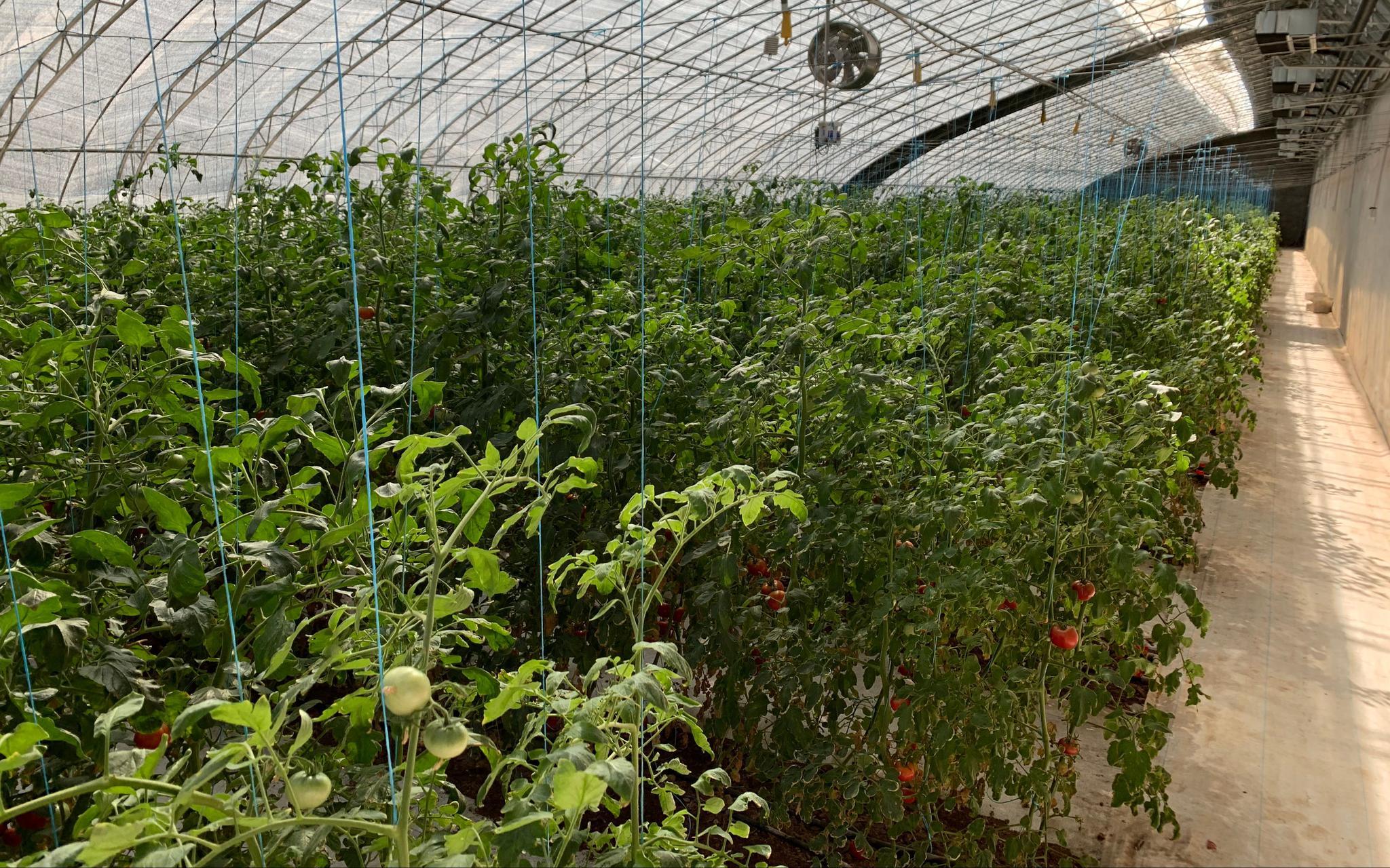"""番茄大棚内种植的""""原味一号""""西红柿。新京报记者 杨亦静 摄"""