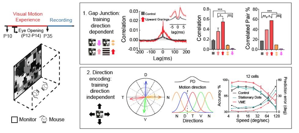 图注:左:视觉运动经验训练示意图。右上,偏好朝上运动的ON-OFF DSGCs之间的缝隙连接比例与强度与视觉经验训练的方向高度相关。右下,ON-OFF DSGCs对运动方向的编码能力提升与视觉经验训练的方向无关。