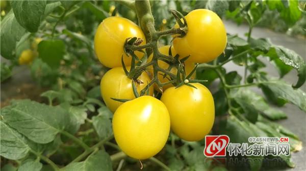 """记者走进九丰现代农博园番茄智能生产大棚  感受五彩斑斓背后的""""黑科技"""""""