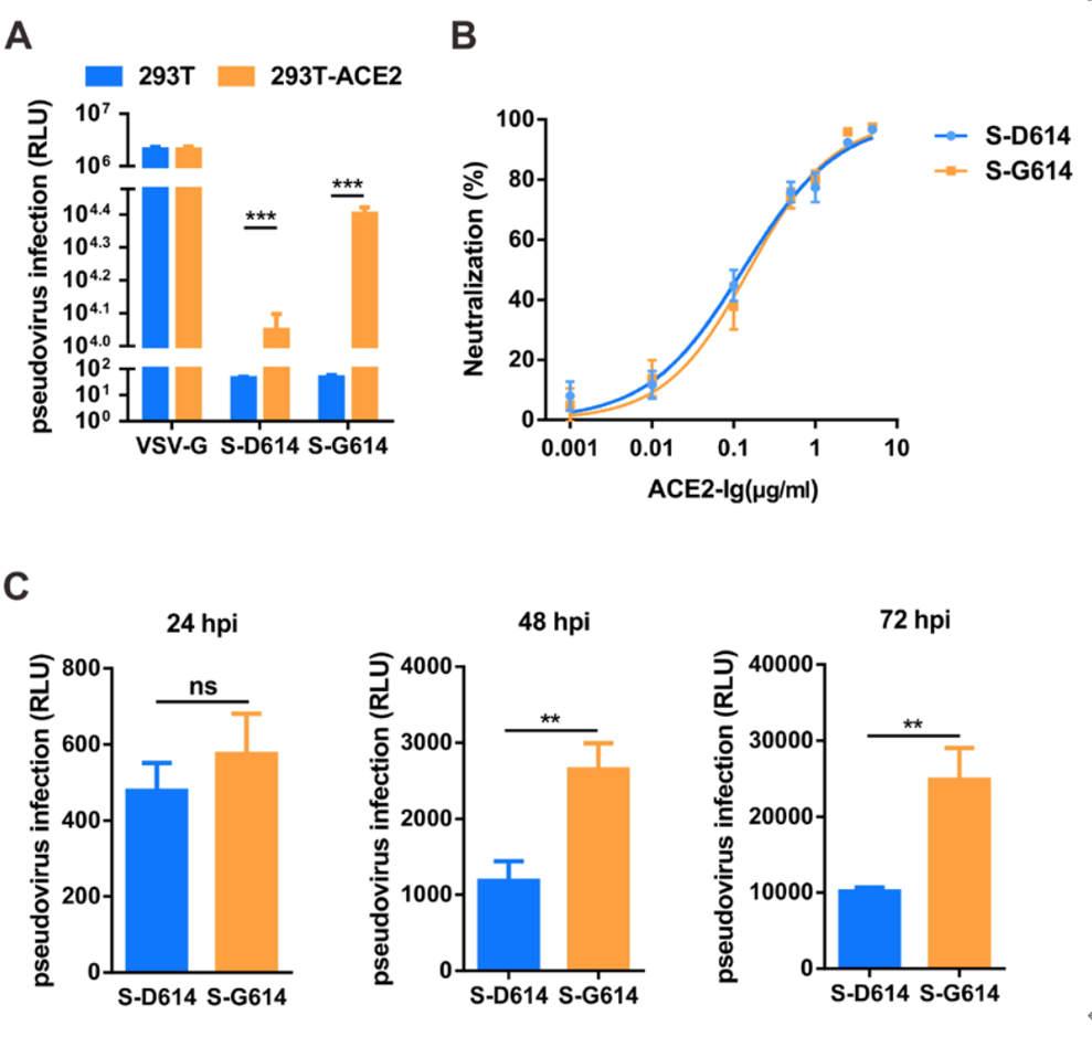 新冠病毒的D614G突变为何感染力更强?中国学者详细解析图片