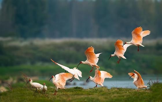 陕西:全球朱鹮种群数量达5000余只,极危降为濒危图片