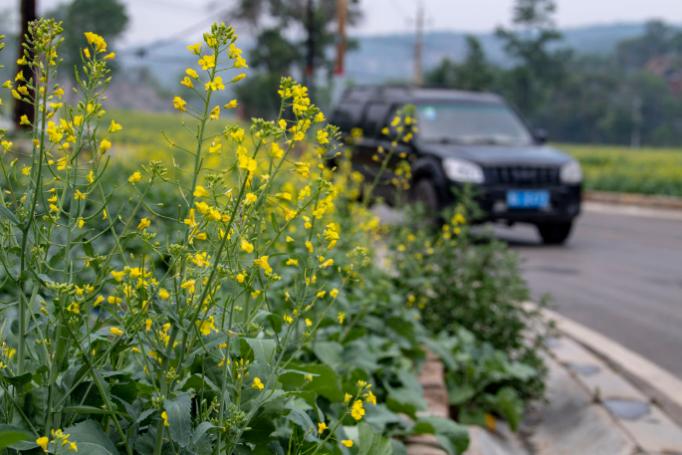 6月18日,车辆驶过太原市万柏林区北头村旅游公路旁的油菜花田