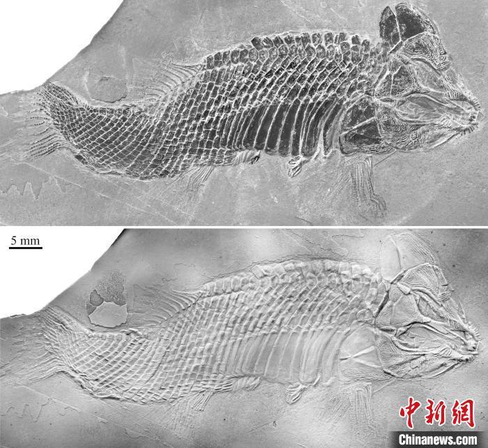 中国科学家在贵州发现2.4亿年前卢加诺鱼化石 系亚洲首现