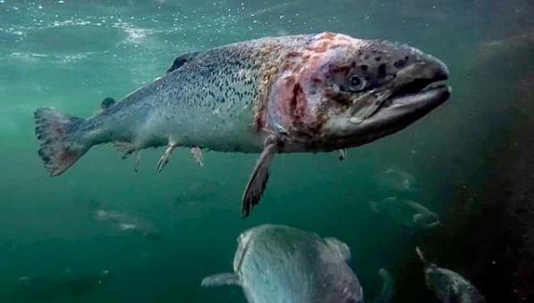一条抱病的三文鱼。图据英国《自力报》