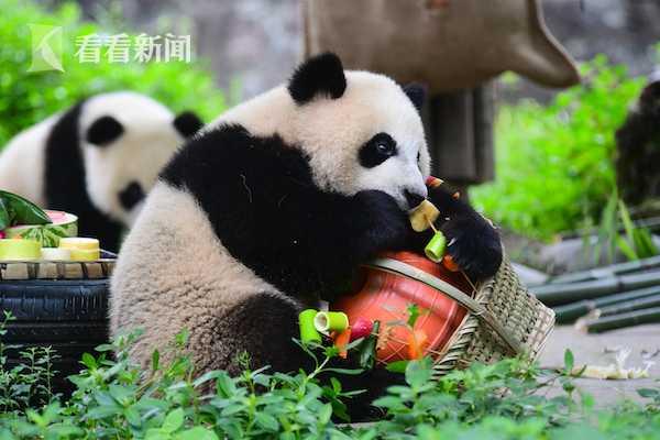 儿天富官网大熊猫端午上演,天富官网图片
