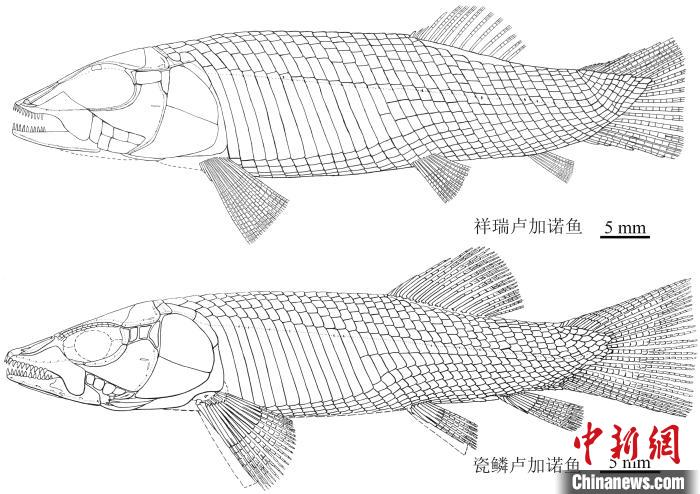 科学家在贵州发现2.4亿年前卢加诺鱼化石 系亚洲首现