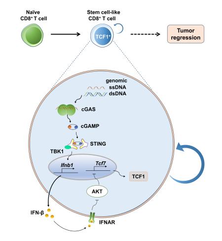 上海市免疫学研究所邓刘福团队发表论文 为提高临床T细胞治疗效果提供新策略