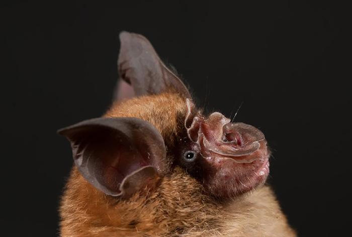 石正丽与美国科学家发表研究,监测蝙蝠冠状病毒跨物种传播图片