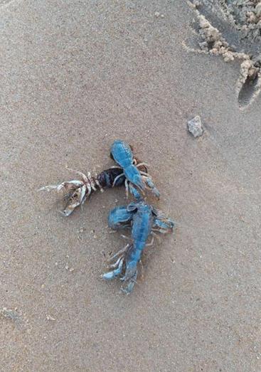 最近海里出现了好多蓝色的皮皮虾属于什么品种?烟台市海洋与渔业局回复
