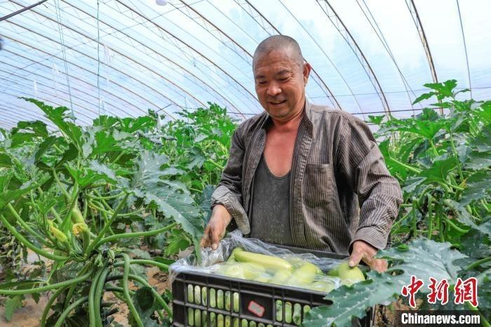山西省长治市屯留区吾元镇西岭村的蔬菜大棚内,村民们端着采摘下来的西葫芦。 李红卫 摄