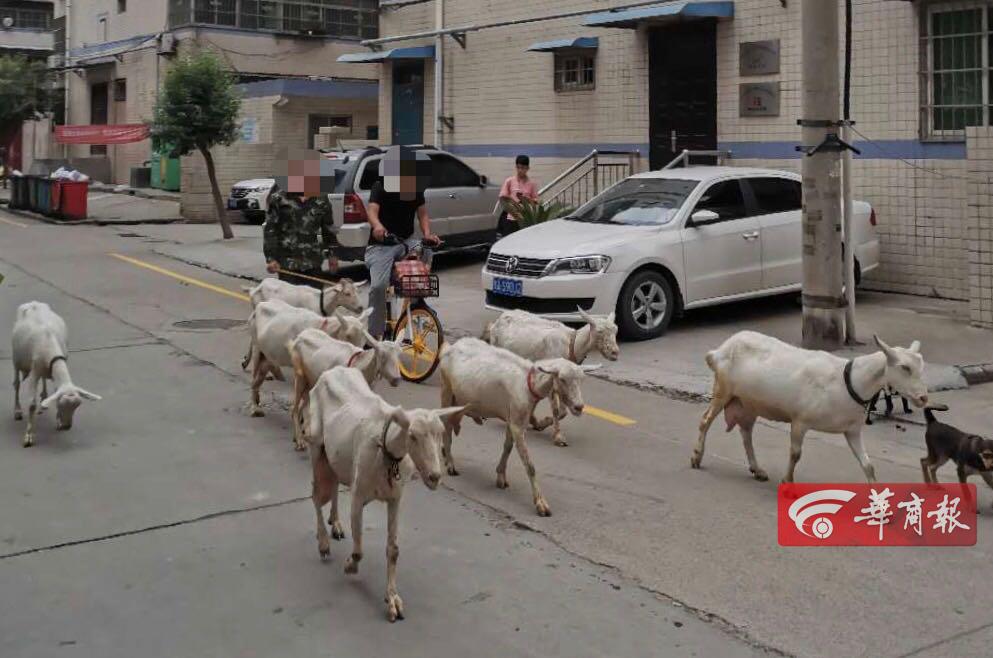 西安业主进小区路遇羊群,鸣笛后