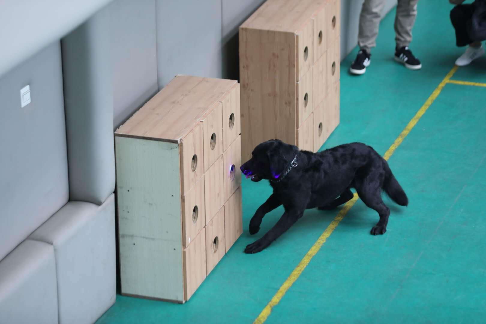 警犬通过激光笔指令进行搜索。新京报记者 王飞 摄
