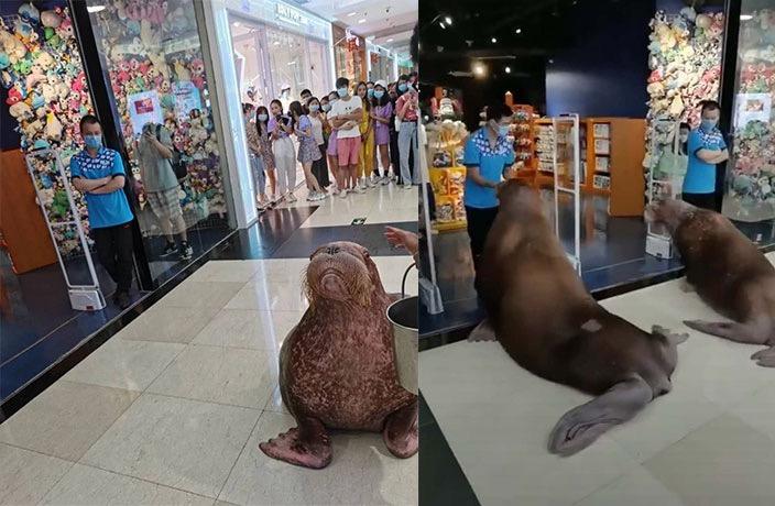 【摩天登录】在商摩天登录场内遛海象起图片