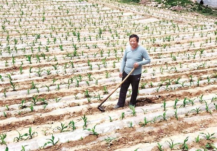 图为张四平在玉米地劳作 刘少伟 摄