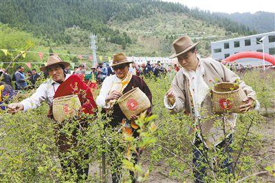 班玛:举行第二届藏雪茶采摘节