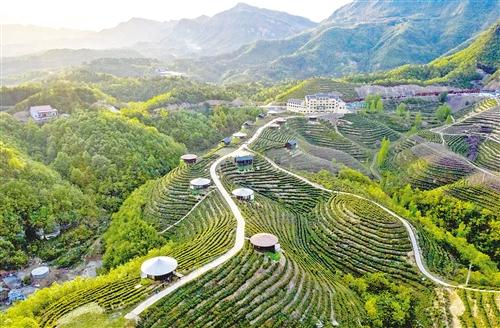 2019年我国干毛茶年产值2300亿元,同比增长12%左右