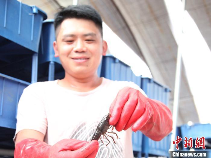 """""""你看,我们的小龙虾腹部多干净,爪子上无绒。""""养殖基地负责人桂兵拿起小龙虾展示着,为了保障水源干净,他们定期换水,并使用生物手法改造水质。 秦超 摄"""