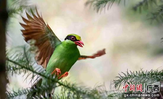 国家二级保护动物蓝绿鹊。赵文庆 摄
