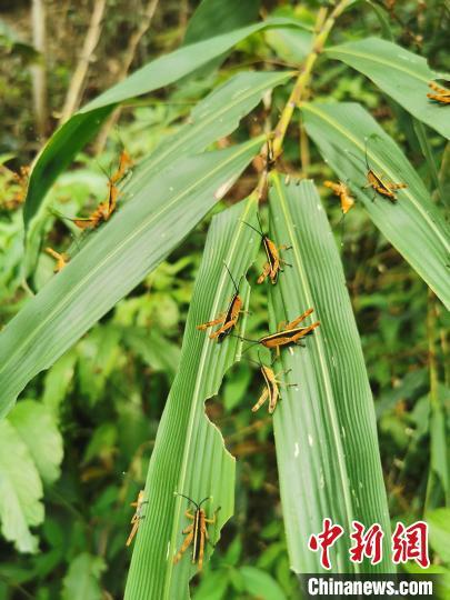 云南杏悦目前黄脊竹蝗灾害处于可控范围,杏悦图片