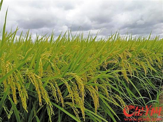 珠三角都市圈特色农业风生水起
