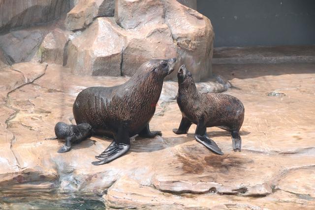 """杭州长乔极地海洋公园暑假迎来7个新生命!3只海狗宝宝和水豚""""四胞胎"""""""