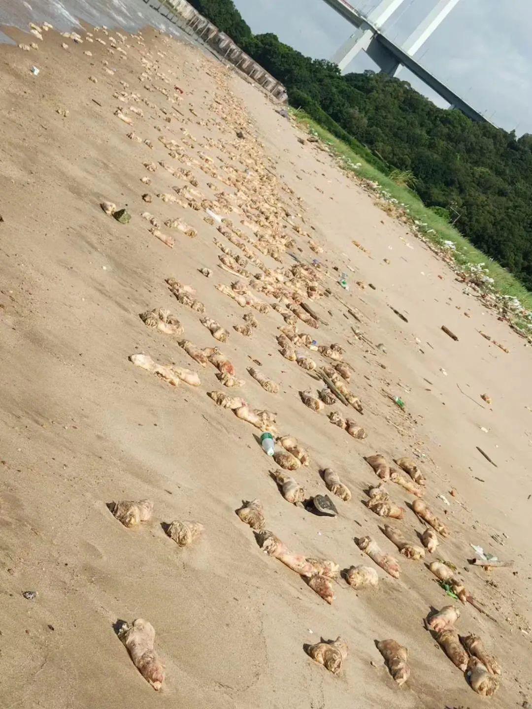 虎门海滩惊现大量猪蹄!