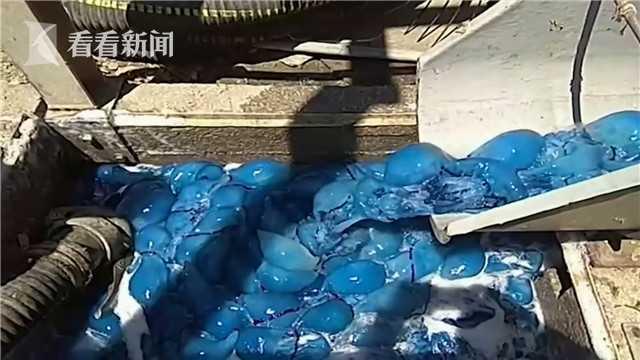 以色列上千只蓝色水母入侵发电厂海水冷却系统 工人加班处理