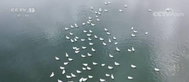 查汗淖尔湖:新孵化上千只雏鸟 遗鸥数量逐年增加