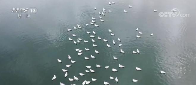 查汗淖尔湖:新孵化上千只雏鸟,遗鸥数量逐年增加