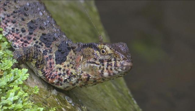 广西贺州保护区迎来39条国家I级重点保护野生动物鳄蜥宝宝出生