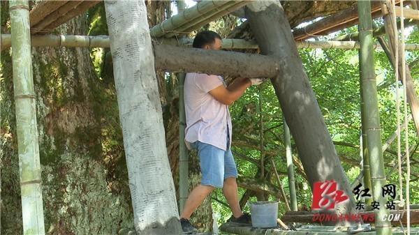 """视频丨东安:千年古银杏树披上""""保护甲"""""""