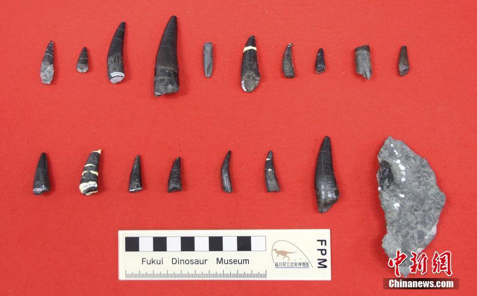 日本福井县将展出棘龙牙齿化石 距今1.2亿年历史