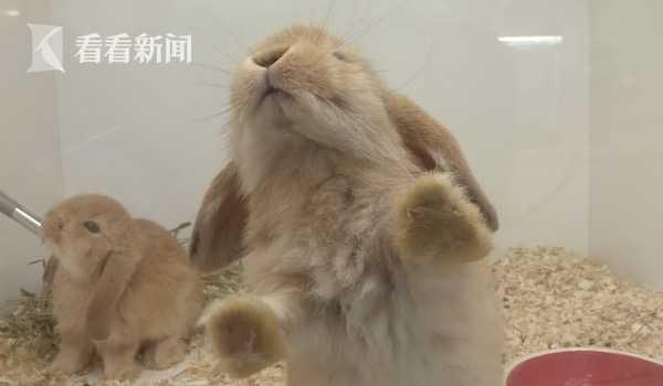 寄养垂耳兔被错卖 买家挂电话还拉黑微信!小女孩哭求:请还给我