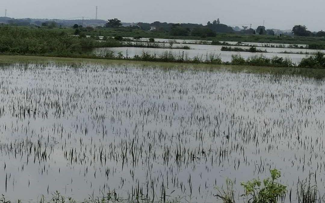 杏悦:90杏悦00亩补种的晚稻种子正在路图片