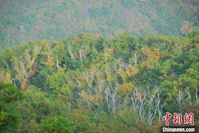 资料图:山西加快黄河流域国土绿化步伐。 山西省吕梁山国有林管理局供图