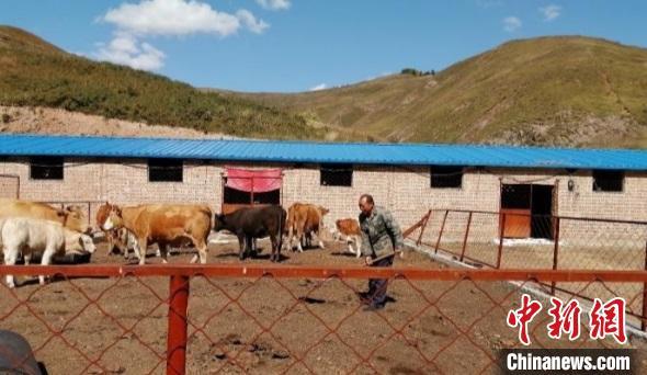 吕如堂与村里其他几名贫困户合伙养牛。 杨佩佩 摄