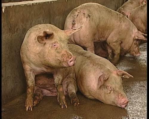 发现新型猪流感病毒