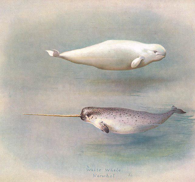 北极珍兽独角鲸的角到底有啥用?花了35年终于研究出个皮毛