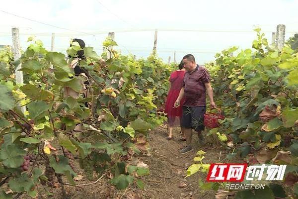 江华:挂葡萄的农民喜欢增加收入