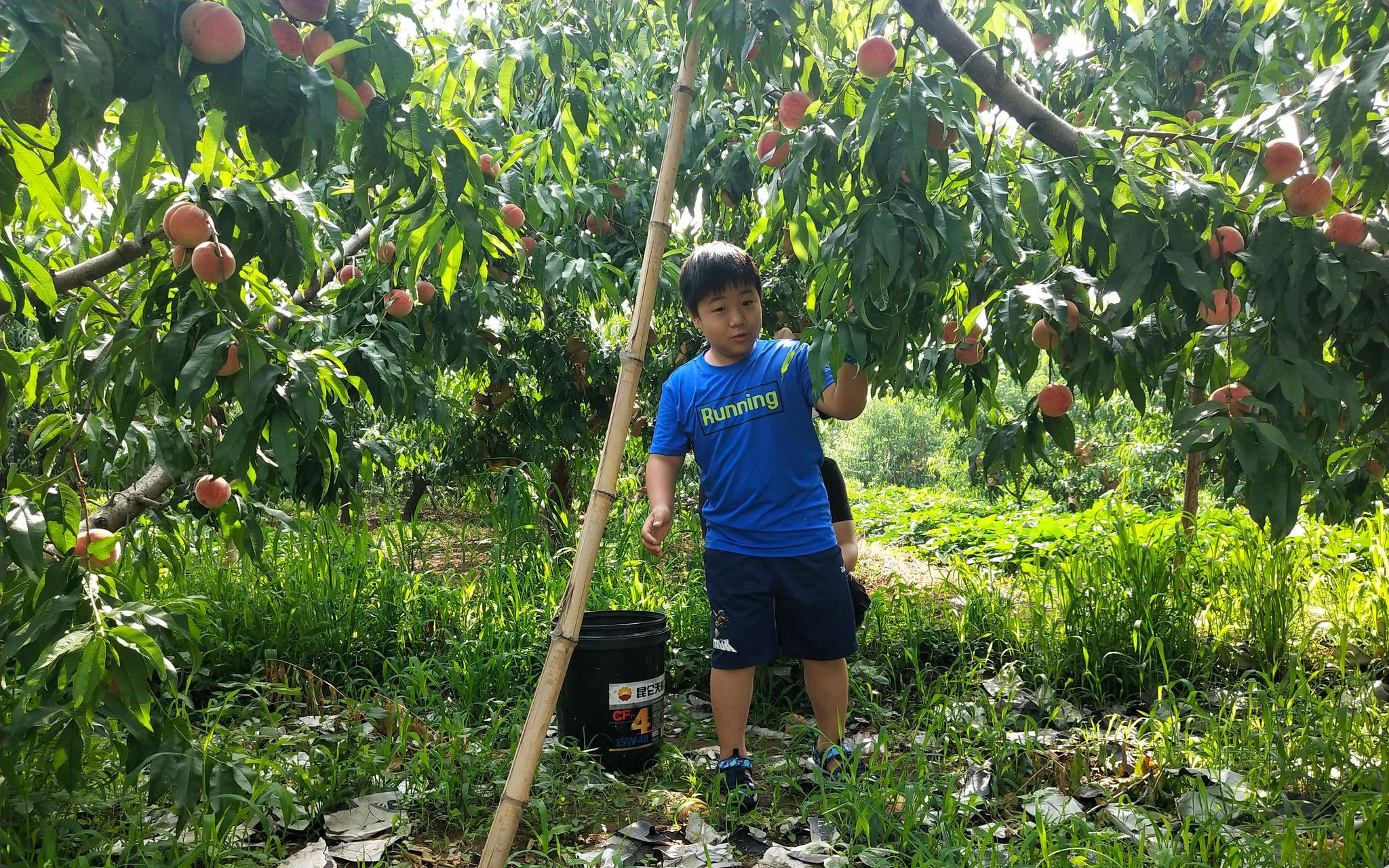 【杏悦】费入住杏悦京郊胡家营村近百种大桃陆续下树图片
