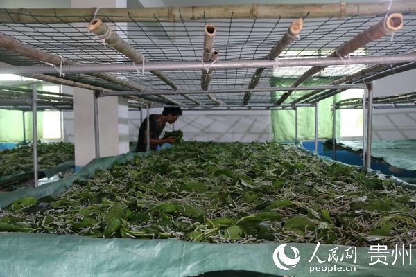 纳雍县:更少的煤 更多的桑树 更多的