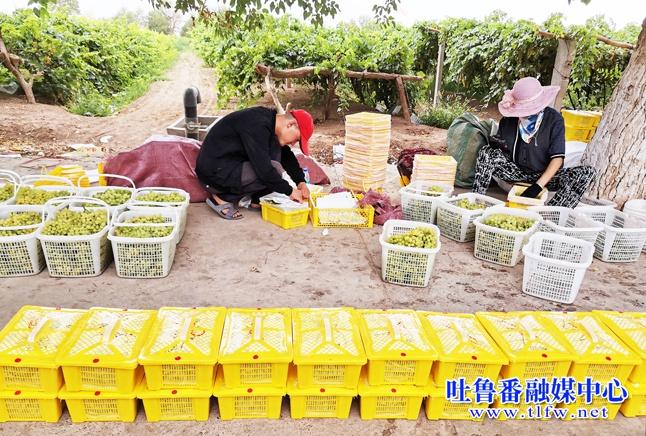 鄯善县吐峪沟乡销售鲜食葡萄6000吨