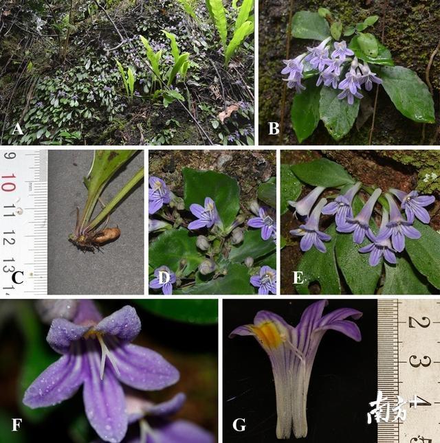 喜讯!丹霞山再现植物新种:黄进报春苣苔